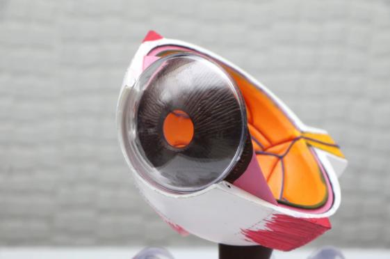 escultura mostrando a estrutura do globo ocular